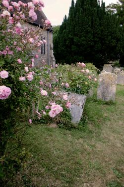 Roses in Churchyard