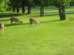 The Queens Deer, Bushey Park