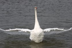 Swan at Oulton Broad