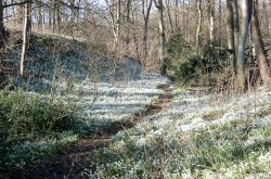 Snowdrops in woodland at Walsingham  Abbey