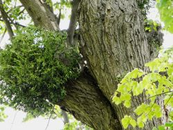 Mistletoe in an old tree at Burghley park
