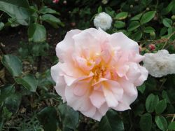 Another rose at Audley End