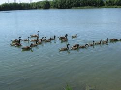 Whitlingham Country Park/ Canada Geese