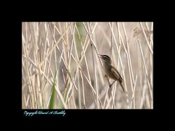 Reed Warbler seen in the reeds near the Humber Bridge