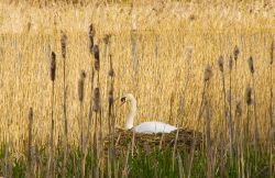 Mute swan at Sprotbrough, South Yorks