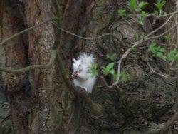 Albi , the Dorking squirrel