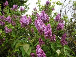 Lilac growing in the hedge