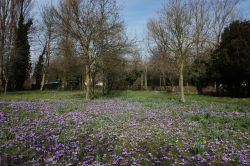 Crocus's in Normanston Park
