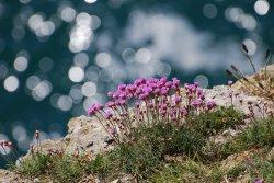 Clifftop flowers