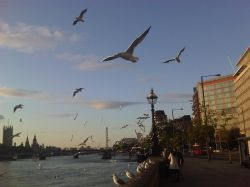 Seagulls over the Thames