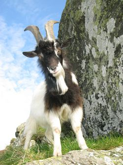 Goat with an attitude