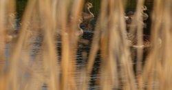 Goslings near Padbury, Bucks.