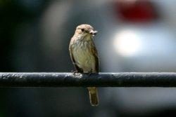Spotted Flycatcher 2.