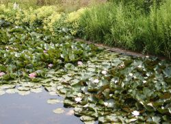 Lillies in the moat.