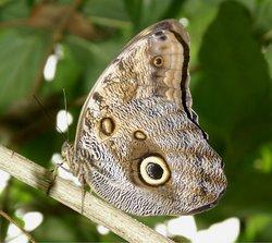 Owls  head Butterfly.