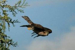3 Sparrowhawk.