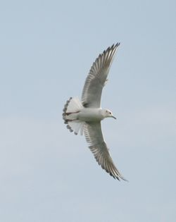 Juvenile Black Head Gull.