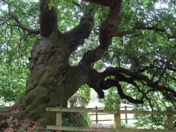 Old Chestnut Tree.
