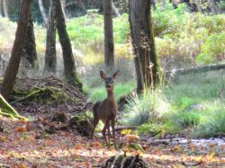 Roe deer at rhinefield