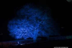 Blue tree of Rufford