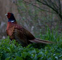 Pheasant at Potterick Carr Nature Reserve