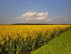 Rape crop