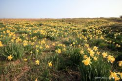 Daffodils on the Downs