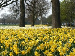 Daffodils in Greenwich Park