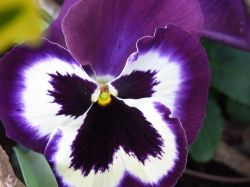 Giant Pansy