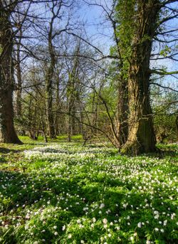 A carpet of Wood Anemone in Edlington woods