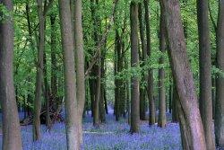 Bluebell Woods, Ashridge Estate