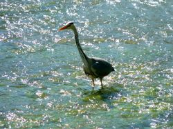 THE HERON IS ON THE HUNT