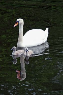 Swan and Cygnets 3