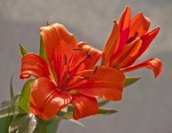 English Country Garden - Deep Orange Lily