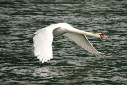 Mute Swan flypast.