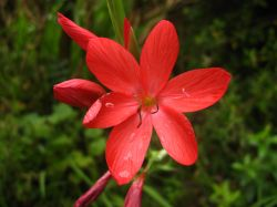 Red Schizostylis