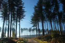 Pine Trees, Cannock Chase