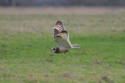 A Short Eared Owl carrying a Vole
