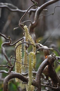 CurlyCurlyCatkins