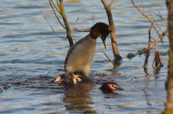 Great Crested Grebes mating, Watermead Park