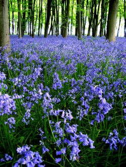 Bluebells at Badbury Clumps, Oxfordshire - 2006