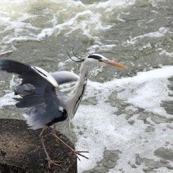 Grey Heron at the Weir, Caversham