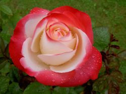 A Rose from Wheatley