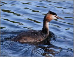Great Crested Grebe, Stretham.