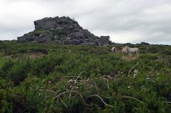 Wild Welsh Ponies in the Preseli Mountains