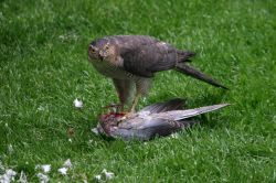 Sparrowhawk in Gateshead.