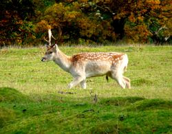 A Fallow Deer in Bradgate Park
