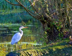 Heron at Watermead Country Park