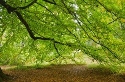 Underneath a Lime Tree at Batsford