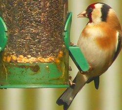 A Goldfinch feeding In our garden in Thurmaston